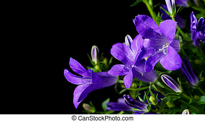 Bellflower (Campanula) - Close up detail of a bellflower...