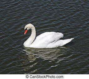 Mute Swan in Santa Barbara - Mute Swan (Cygnus olor) at...