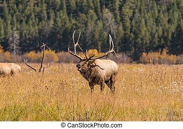 Bull Elk Bugling in Rut - a bull elk bugling in a meadow in...