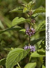 spearmint - flower wild spearmint Mentha pulegium on meadow...
