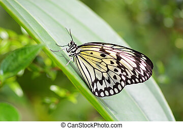 Idea Leuconoe butterfly also called Wood Nymph or Paper Kite