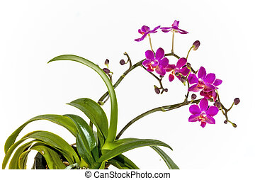 Phalaenopsis Orchid with Two Stems of Bright Flowers