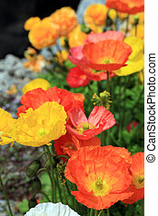 Multicolor poppy flowers in the garden, Montreux,...