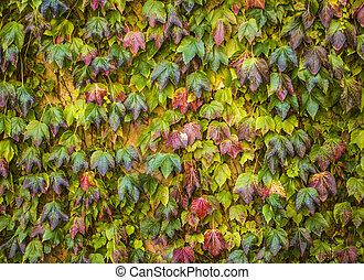 English Ivy Climbing up a Wall
