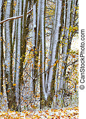 Abstract Tree Trunks - A stand of trees with fall colors and...