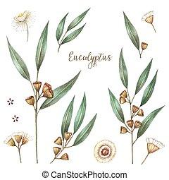 acuarela, eucalipto, hojas,