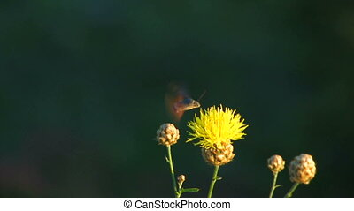 HD pollinate the flower