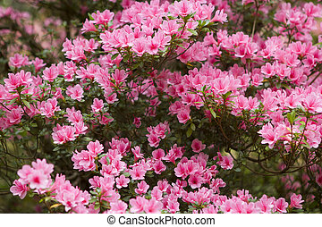 Pink Azalea bush with many flowers filling the whole frame