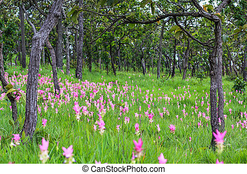Siamese tulip fields at Pa Hin Ngam National Park asia...