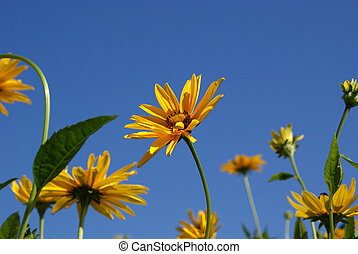 Yellow Oxeye Sunflowers (Heliopsis helianthoides) - Yellow...