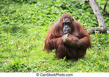 Female Bornean orangutan Oldest zoos in Europe Republic of...