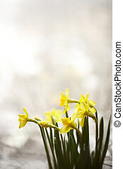 daffodils - Daffodils grow from bulbs. Closeup with soft...