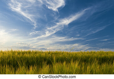 Field of barley and sky with beautiful cirrus type clouds on...