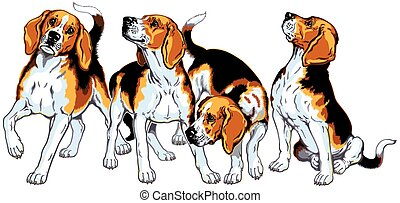 four beagles - four beagle hounds,hunting dogs, image...