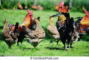 coq, et, poulets, sur, traditionnel, gratuite, gamme,...