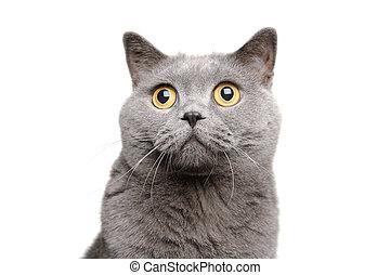 British Shorthair Cat