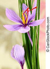 Close up of saffron flowers - Close up of saffron flower