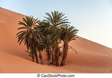 Date palm trees in the Sahara desert. Morocco, Africa