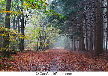 path between beech and coniferous forests in autumn