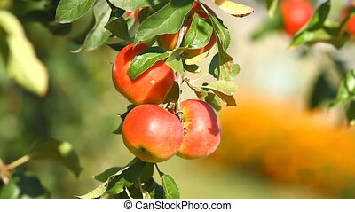 Apple trees with a red apples
