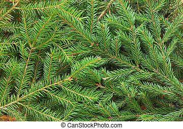 Fir tree background - Fir tree branch background close up