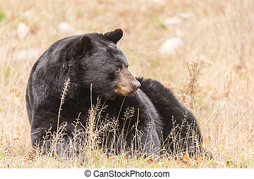 Great Big Black Bear