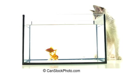 Gold fish and cat