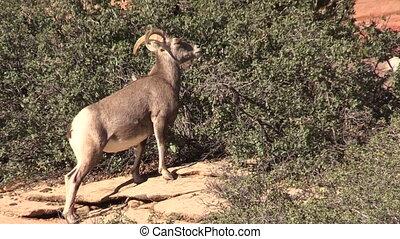 Desert Bighorn Ewe - a desert bighorn sheep ewe feeding in...