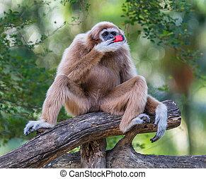 White Cheeked Gibbon or Lar Gibbon