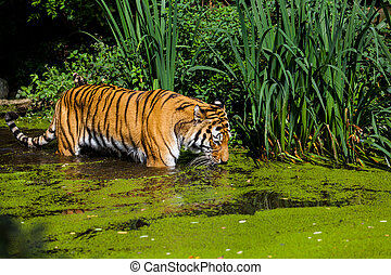 Tiger in Water.  - Tiger in Water.