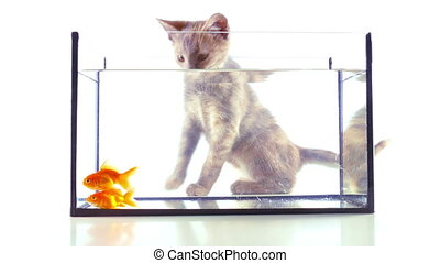 Gold fish and cat - Kitten looking at goldfish in an...
