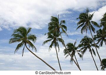 noce di cocco,  Samoa, fondo, nuvoloso, palme