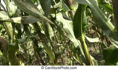Corn, Crops, Rows of Corn, Stalks