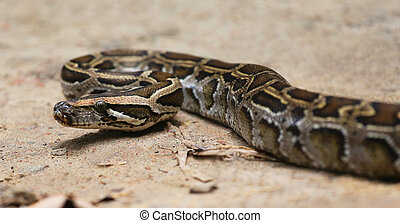 Python - Close up of a burmese python on ground