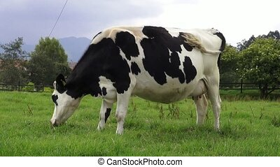 Grazing, Cows, Cattle, Farm Animals