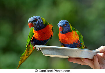 Rainbow Lorikeet - Two Native Australian Rainbow Lorikeet...
