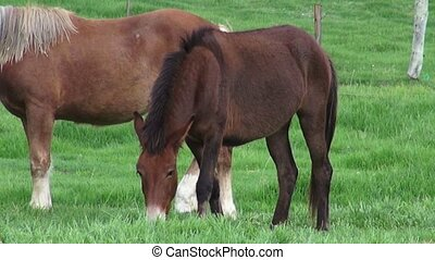 Horse Grazing, Farm Animals - Horse Grazing, Horses, Farm...