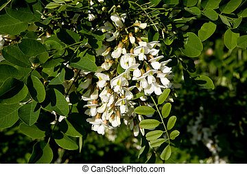 Acacia flowers - White flowers of a acacia against green...