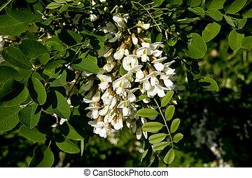 Acacia, flores,