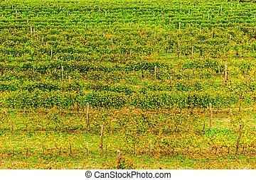 葡萄園, 秋天, 生動