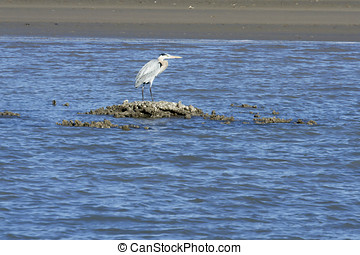 Blue Heron standing on a sandbar in the shipping channel...