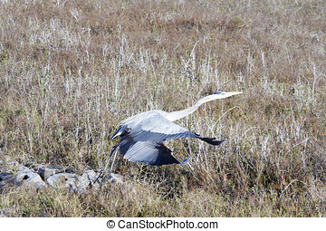 Blue heron taking flight Aransas National Wildlife Refuge,...