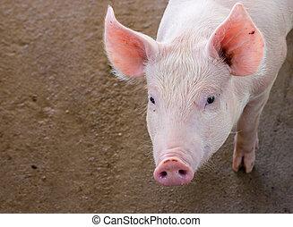 porca, fazenda,