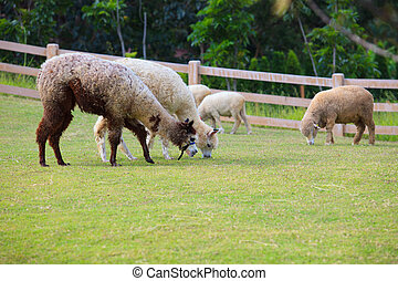 folk of llama alpacas latin america cattle feeding in farm...
