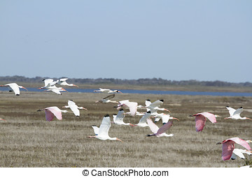 Flock of white and pink ibis flying over Aransas National...