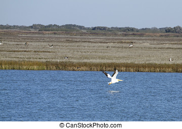 White pelican fishing in the waters around Aransas National...