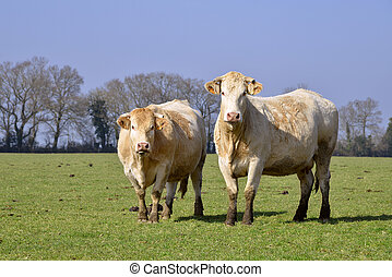 vacas, campo