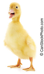 one duckling - duckling who are represented on a white...