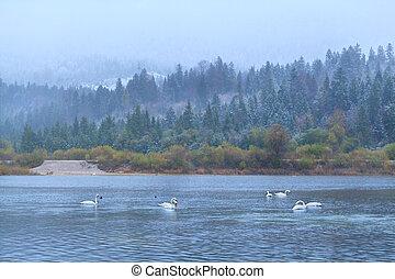 wild white swans on lake in Alps