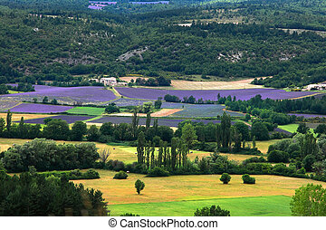 Blooming field of Lavender, Provence-Alpes-Cote d'Azur,...